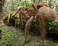 The world's largest spider has been spotted in Guyana's forests. Large Spiders, Scary Spiders, Giant Spider, Veneno, Black Spider, Bugs And Insects, Amazing Spider, Baja California, Science Nature