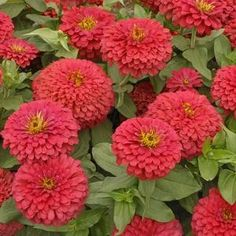 (2017) Meteor zinnia - mine don't look as lush as these, but the deep red is lovely
