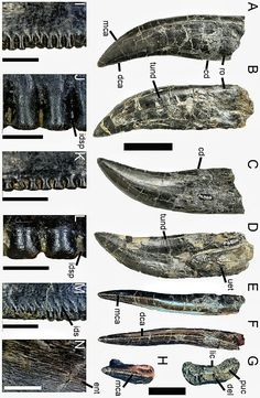 Dentition of Torvosaurus gurneyi A, C, E–H, Second maxillary tooth; and B, D, third non-erupted maxillary tooth of the holotype specimen of Torvosaurus gurneyi in A–B, labial; C–D, lingual; E, mesial; F, distal; G, basal; and H, apical views. I–J, Distal; and K–M, mesial denticles of the second maxillary tooth in lateral view. M, Distal serrations showing the interdenticular sulci; and N, enamel texture of the third non-erupted tooth in labial view