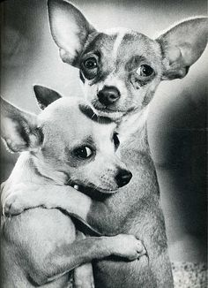 """He looks out for me and I for him!"" #dogs #pets #Chihuahuas Facebook.com/sodoggonefunny"