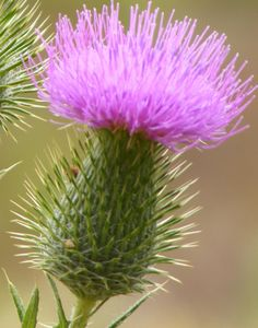 The Scottish Thistle. My garden is full of them!