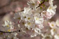 Cherry blossoms bloom by the tidal basin in Washington, Thursday, March 24, 2016. (AP Photo/Jacquelyn Martin)                                     via @AOL_Lifestyle Read more: http://www.aol.com/article/2016/03/24/washington-d-c-s-cherry-blossoms-reach-peak-bloom/21333068/?a_dgi=aolshare_pinterest#slide=3842166|fullscreen