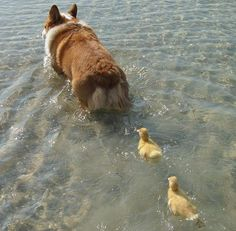"""Ducklings imprinted on Corgi """"mom"""" -- and be sure to scroll to bottom of page to see how the trio is doing after 2 months together. ;-)"""