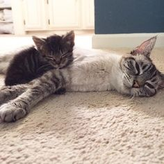 生後1日で保護された子猫が新しいお母さんに出会うと…