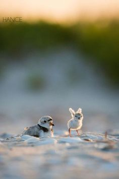 Ears or Wings? Baby plover by Eric Hance on Cute Birds, Pretty Birds, Beautiful Birds, Animals Beautiful, Cute Creatures, Beautiful Creatures, Nature Animals, Animals And Pets, Cute Baby Animals