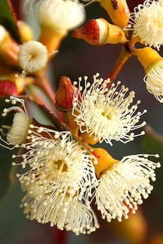 54 Super Ideas for gum tree photography nature Australian Wildflowers, Australian Native Flowers, Australian Plants, Wild Flowers, Beautiful Flowers, Exotic Flowers, Fresh Flowers, Australian Native Garden, Tree Photography