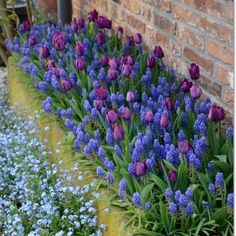 Tulipaner, perlehyacinter og forglemmigej i skøn forening #clausdalby #blomster #flowers #forår #spring