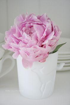 Light pink peonie