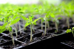 Pokud jde o malé sazeničky, buďte opatrní, abyste rostlinky nespálili Growing Tomato Plants, Growing Tomatoes In Containers, Growing Vegetables, Grow Tomatoes, Starting Seeds Indoors, Tomato Seeds, Spring Plants, Plantar, Seed Starting