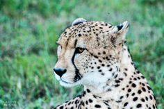 Cheetah facebook.com/Parrottspics