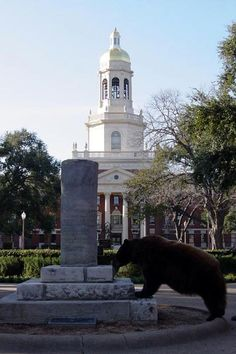 One of Baylor University's bear mascots in front of iconic Pat Neff Hall