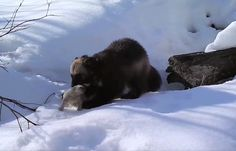 A wild wolverine mother tends to her baby.