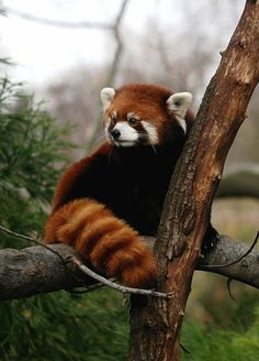 ❤ =^..^= ❤  Red Panda ~ You can see this beautiful animal at the Knoxville Zoo among other places.