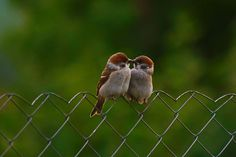 Tree sparrows.....cutie pies !