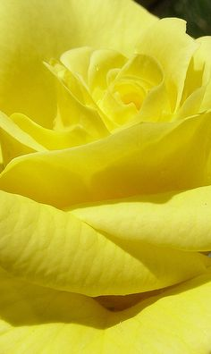 Yellow rose close-up by Papa Razzi1, via Flickr