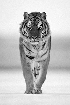 tiger |via Tumblr
