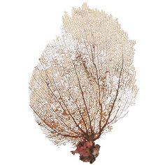 Natural Sea Fan--would make a lovely addition to a tablescape for a beachy wedding