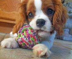 Emma the Cavalier King Charles Spaniel Pictures 1031524
