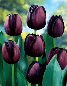 Queen Of Night tulip.  I have these in the garden.  It is my favorite of the…