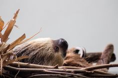 Sleeping softly amongst some sticks #aww #Cutesloths #sloths #boopthesnoot #cuddle #fluffy #animals #aww #socute #puppy #bestfriend #itssofluffy