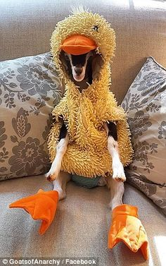 Leanne Lauricella said her blind rescue goat Polly, who suffers from anxiety and neurological problems, instantly calmed down once she was put in a plush duck costume made for children