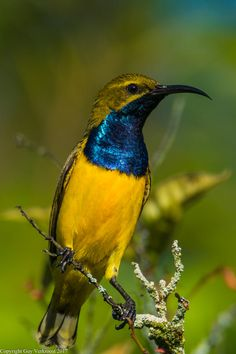 Olive-backed sunbird, also known as the yellow-bellied sunbird