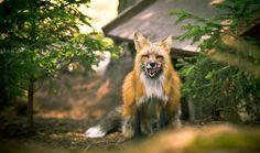 Wild animal, fox, predator wallpaper