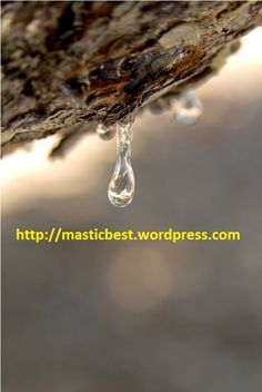 mastiha tear on a tree