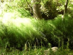 Horsetail, summer. Εκουϊζέτο ή αλλιώς πολυκόμπι, μέσα καλοκαιριού.