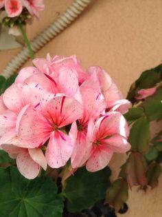 Geranio mezcla de rosas