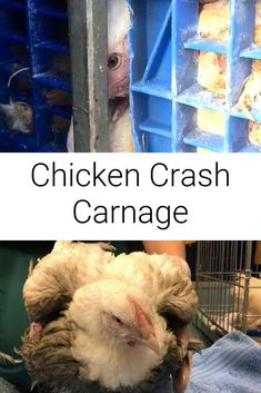 On the 30th September at 10.00am a lorry carrying chickens crashed on the roundabout of the North Orbital Road. The chickens were already on their way to the slaughter house around 20 minutes away when the driver crashed, turning 9,000 chickens on their sides resulting in injured, distressed, crushed and dead birds....  #chickens #crash #vegan #whyvegan #activism #crash #animalrights Broiler Chicken, Help The Poor, Why Vegan, Veterinary Care, Vegan Animals, Animal Rights, Vegan Life, Vegans, 30th