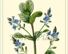 KNIKKENDE DISTEL  botanische print reproductie door PosterPlace