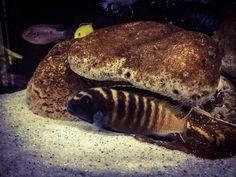 1000+ images about ryby sladkovodn? on Pinterest Koi, Goldfish and ...
