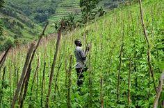 Risultati immagini per beans in Uganda