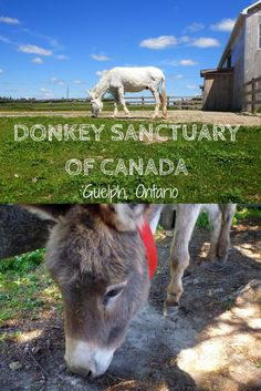 We visited the Donkey Sanctuary of Canada in Guelph, Ontario to see all of the rescued donkeys at this wonderful charitable organization! Alberta Canada, Canada Ontario, Quebec, Vancouver, Toronto, Canadian Travel, Beautiful Farm, Travel Usa, Travel Tips