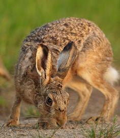 Brown Hare close up Suffolk June Lepus europaeus - Mike Rae Wild Rabbit, Jack Rabbit, Bunny Rabbit, Animals And Pets, Cute Animals, Rabbit Sculpture, March Hare, Wildlife Art, British Wildlife
