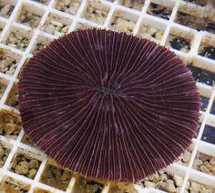 Cycloseria El Pez Payaso LPS coral acuario marino acuariofilia