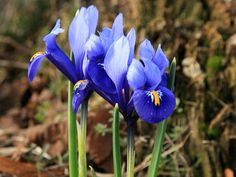 cluster of blue iris flowers - Yahoo Image Search Results Blue Iris Flowers, Yahoo Images, Image Search, Plants, Flora, Plant