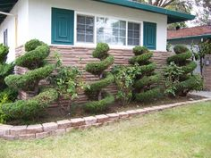 The Hollywood Junipers I twirl every year.