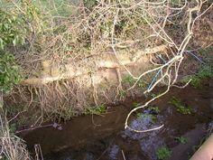 Córrego Bank, em Castley.  Aqui o barranco está sustentado por uma grande raiz de árvore. A corrente forma a fronteira entre Castley e Weeton. North Yorkshire, Inglaterra, Reino Unido.  Fotografia: Humphrey Bolton.