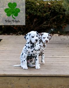 Dalmatian puppies, one black and white and one liver and white. KathleenRileyPhotography.com