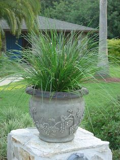 Lomandra the Breeze Lomandra, Balcony Plants, Ornamental Grasses, Shade Plants, Perennials, Breeze, Pots, Succulents, Gardening