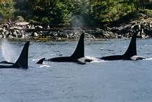 Male orcas of J pod, Southern Gulf Islands, BC by Mark Brett. The male with the notched fin is J-1, aka Ruffles, now deceased.  He was the oldest known male orca in the world.