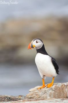 Puffins in Elliston, Newfoundland