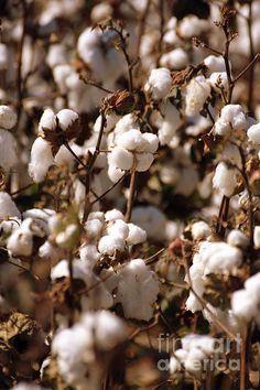 Mississippi Cotton Picking Cotton! By: Photography By Jeff Monk!