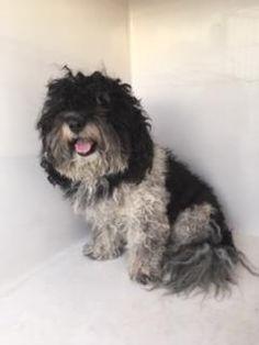 Mesquite Tx Shih Tzu Meet 40086141 A Dog For Adoption Shihtzu