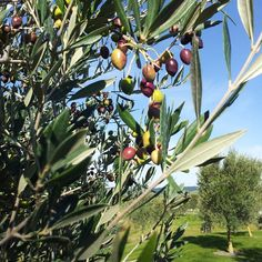 Almost time for the next picking. #elephanthill #oliveoil #2015vintage #nzwines #picoftheday
