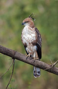 Crested Hawk-Eagle - Juvenile