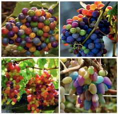 RAINBOW GRAPES These may look like party balloons but they are actually rainbow grapes. These grapes aren't a rare species, they are c...