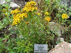 tarragon mexican,mexican tarragon seed,Tagetes lucida seed-heirloom - untreated - sustainable - vegetable seeds - Bountiful Gardens